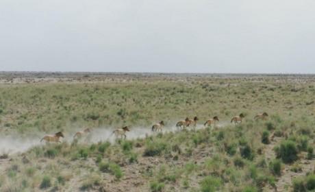 奇瑞汽车开展保护普氏野马与双峰野骆驼科考公益行动